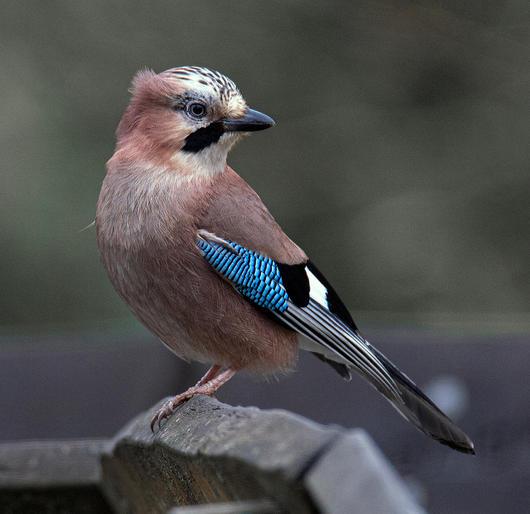 Comm_Graeme Blumire_Jay bird