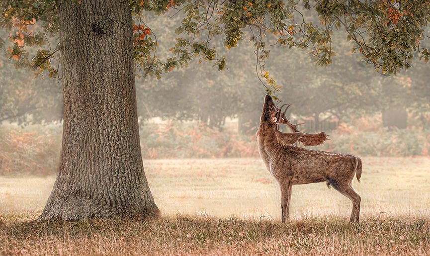Gold_Jan Lunn_Fallow Deer Picking Acorns