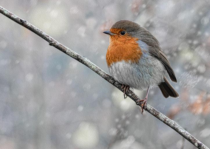 HC Jan Lunn_Robin in Snow