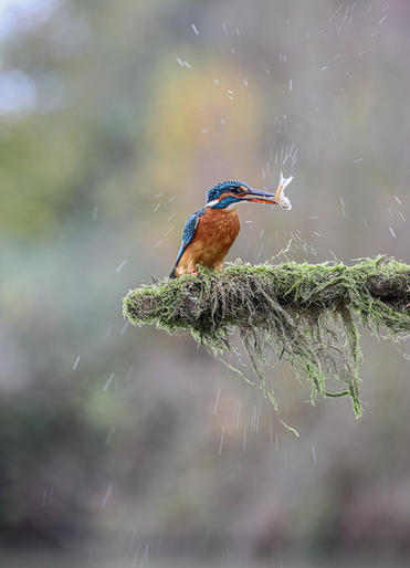 Comm_Jan Lunn_Female Kingfisher with Catch