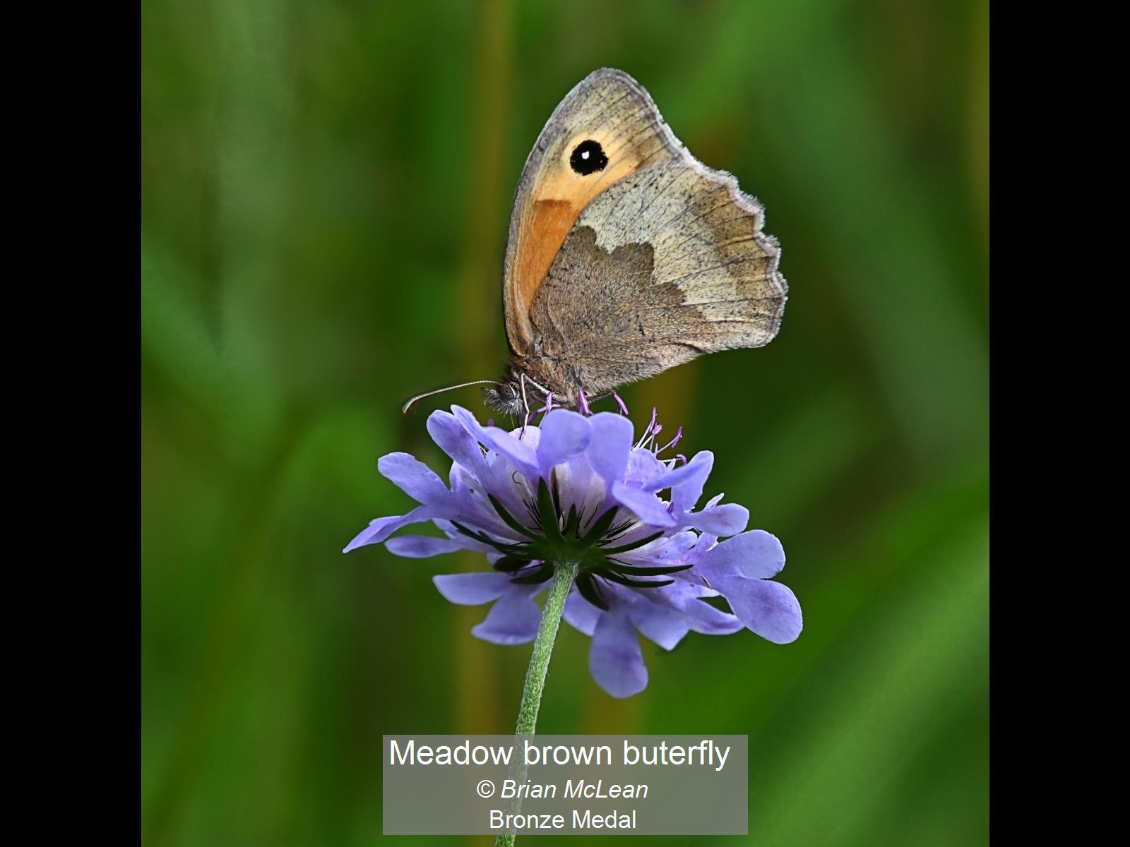 Meadow brown buterfly_Brian McLean_Bronz