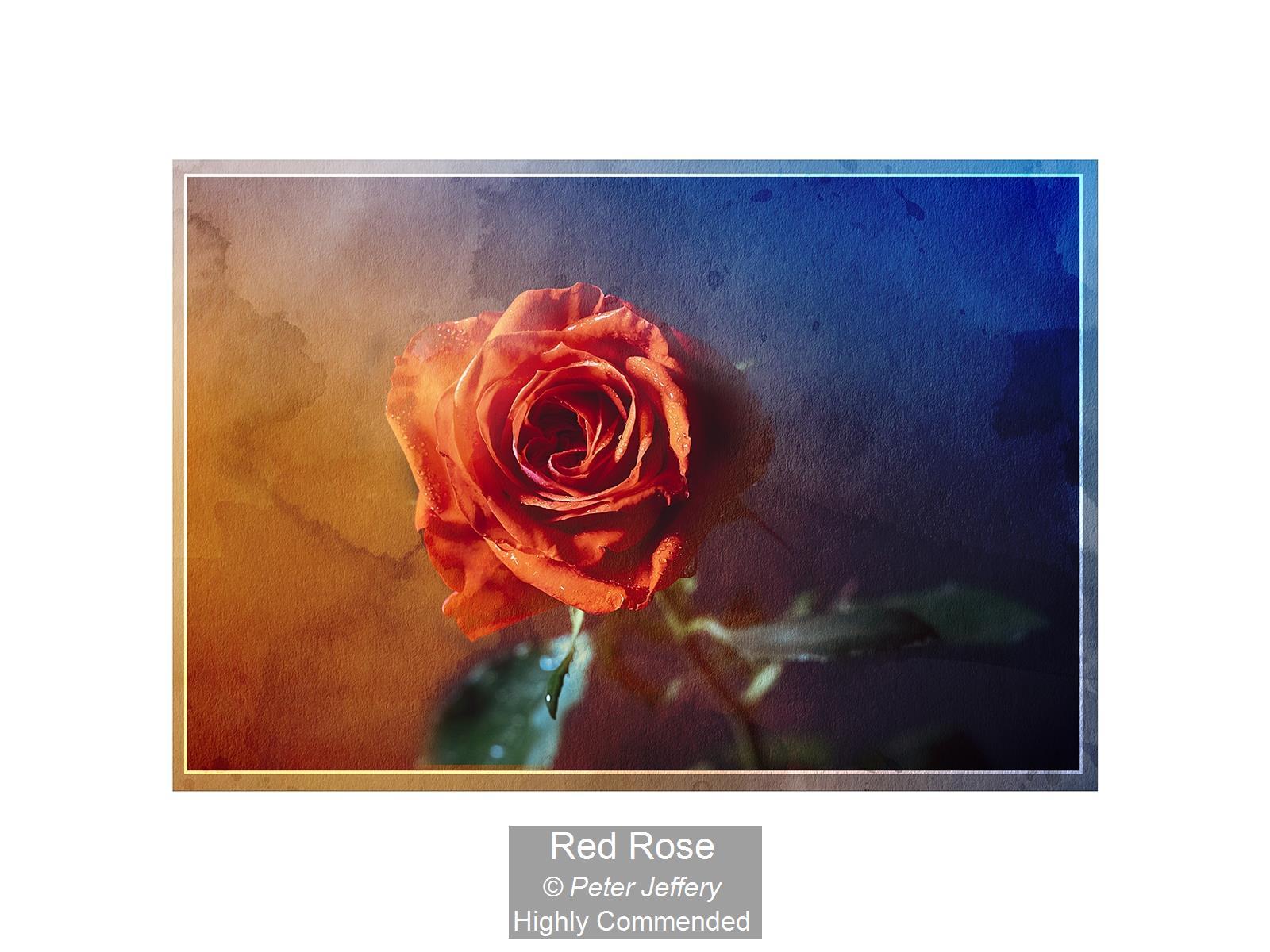 Red Rose_Peter Jeffery_HComm