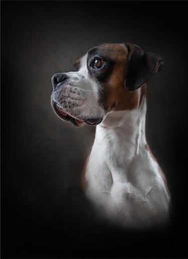Comm_Jan Lunn_Boxer Portrait