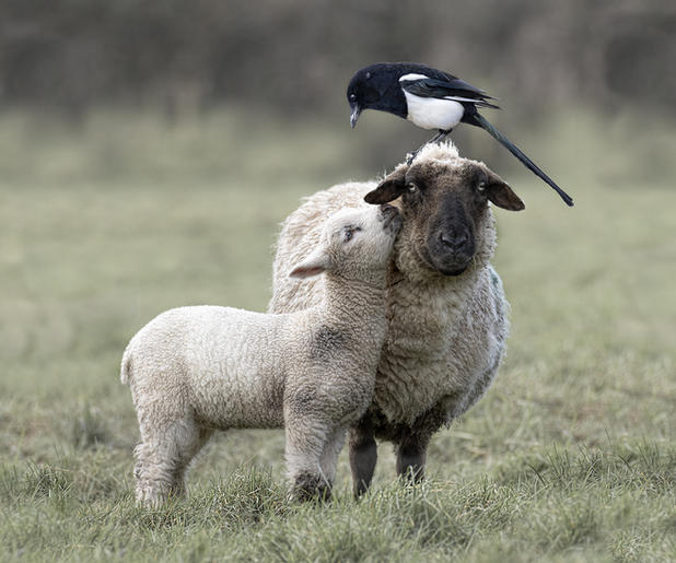 Gold_Jan Lunn_Lamb, Ewe and Magpie