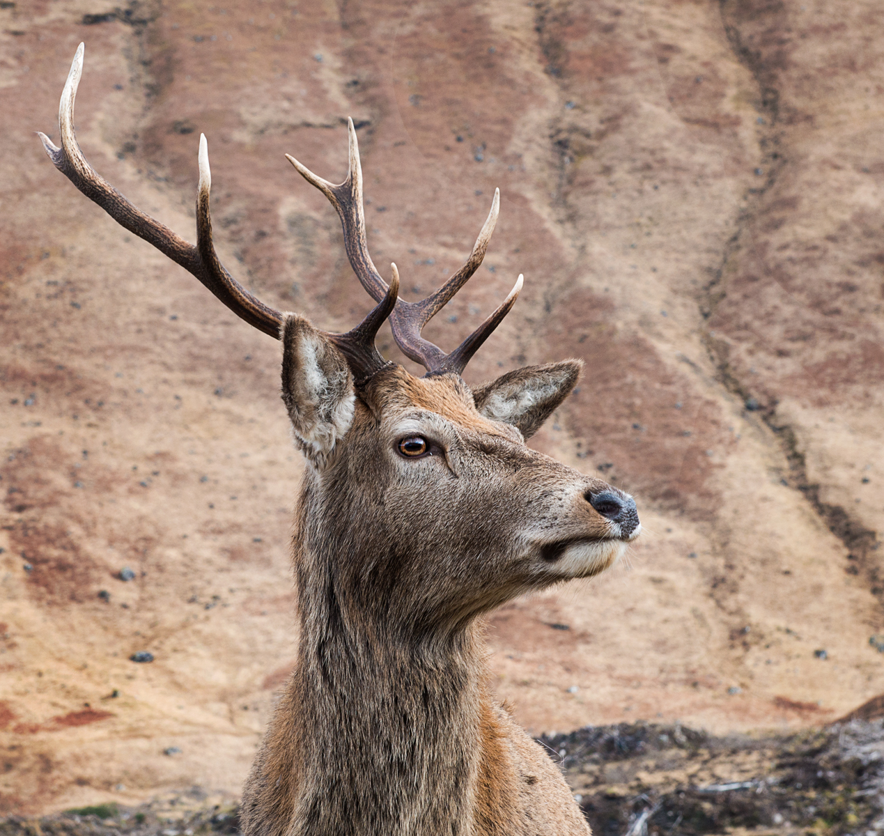 Julie McGowan_Red Deer Scotland_None