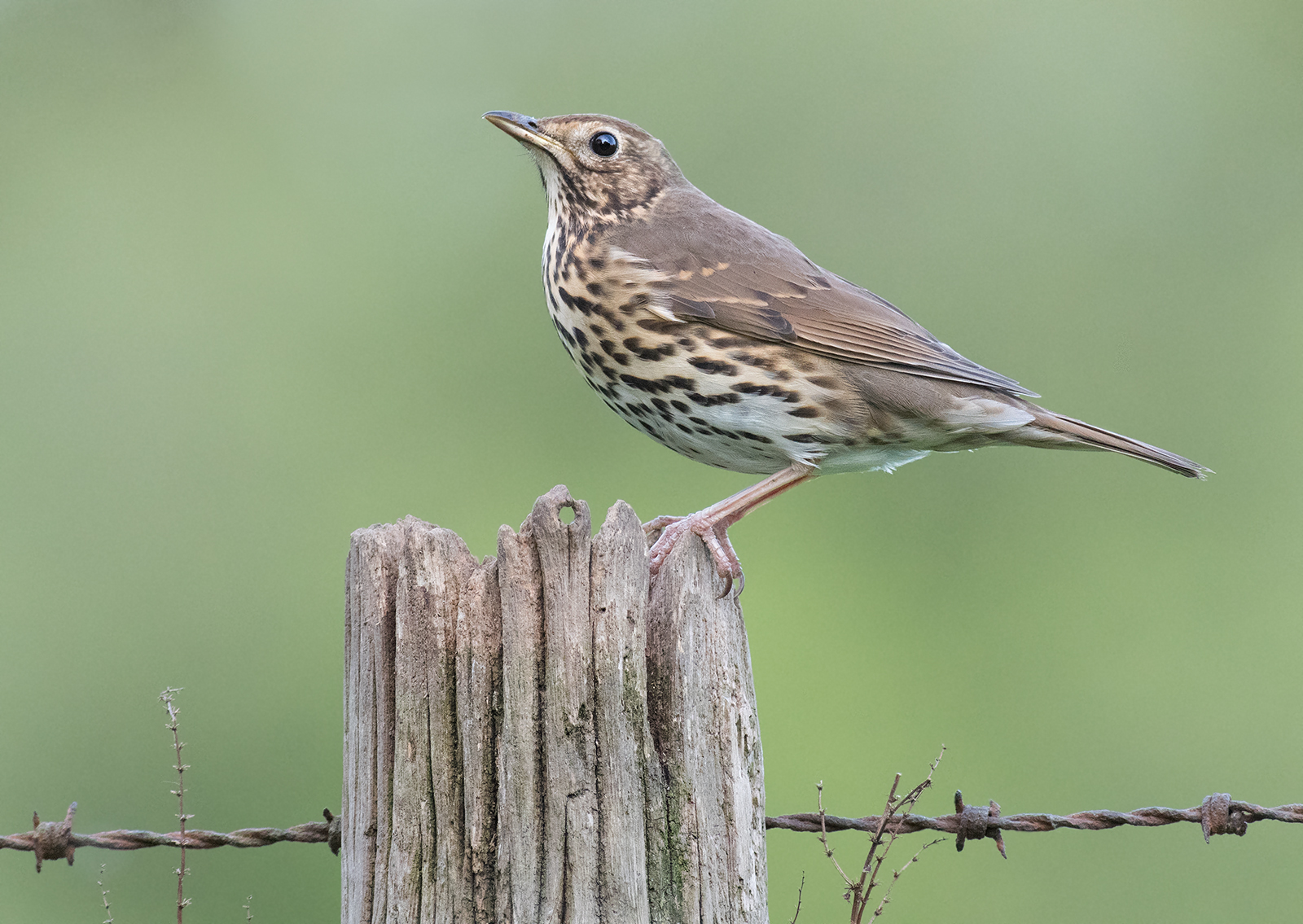 Geoff Botwood_Song Thrush_None