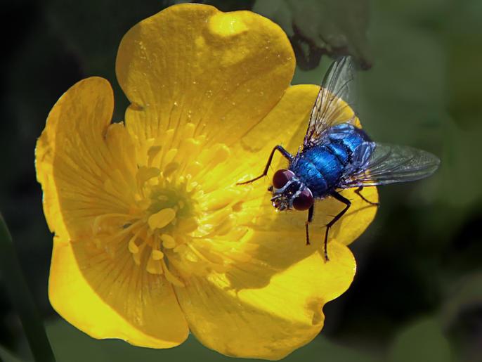 Pam Sherren_Blue Bottle Fly in a Buttercup