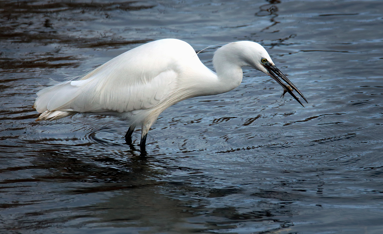 Graeme Blumire_Egret with Catch_None