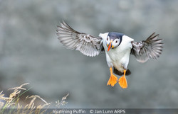 Second_Jan Lunn_Incoming Puffin
