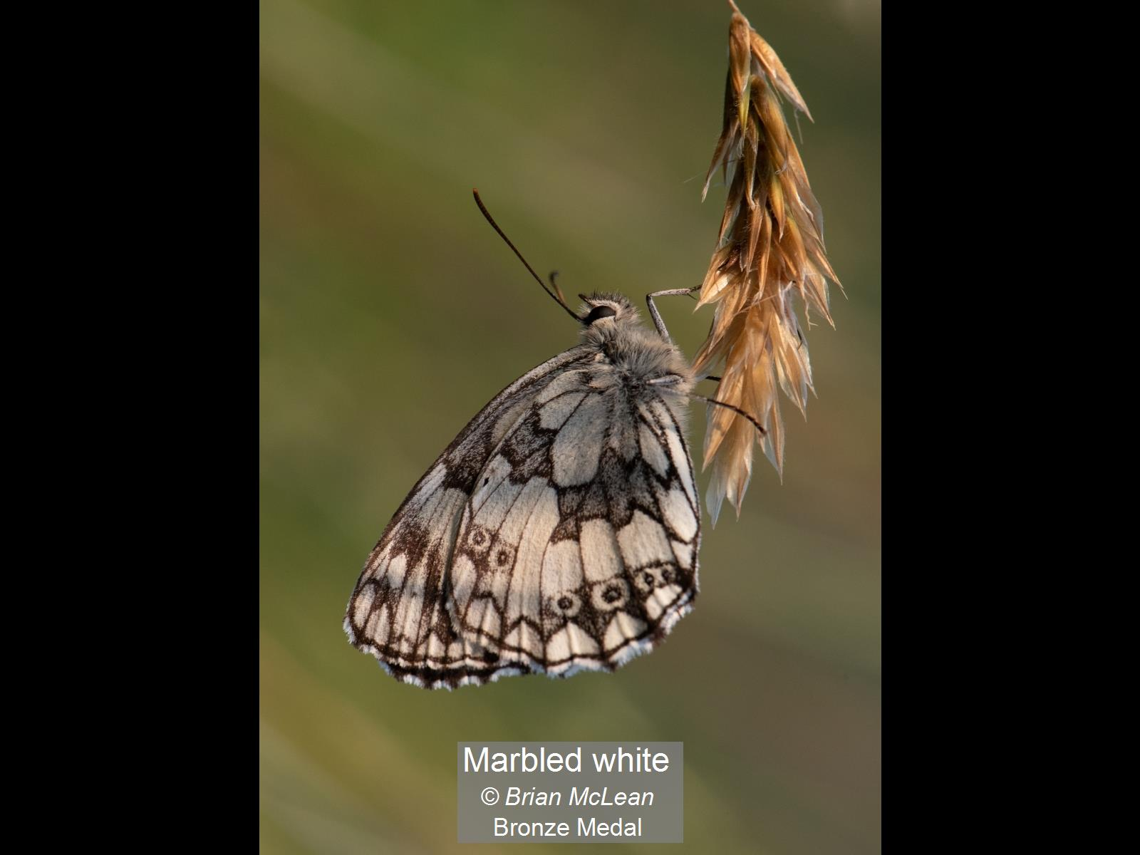 Marbled white_Brian McLean_Bronze