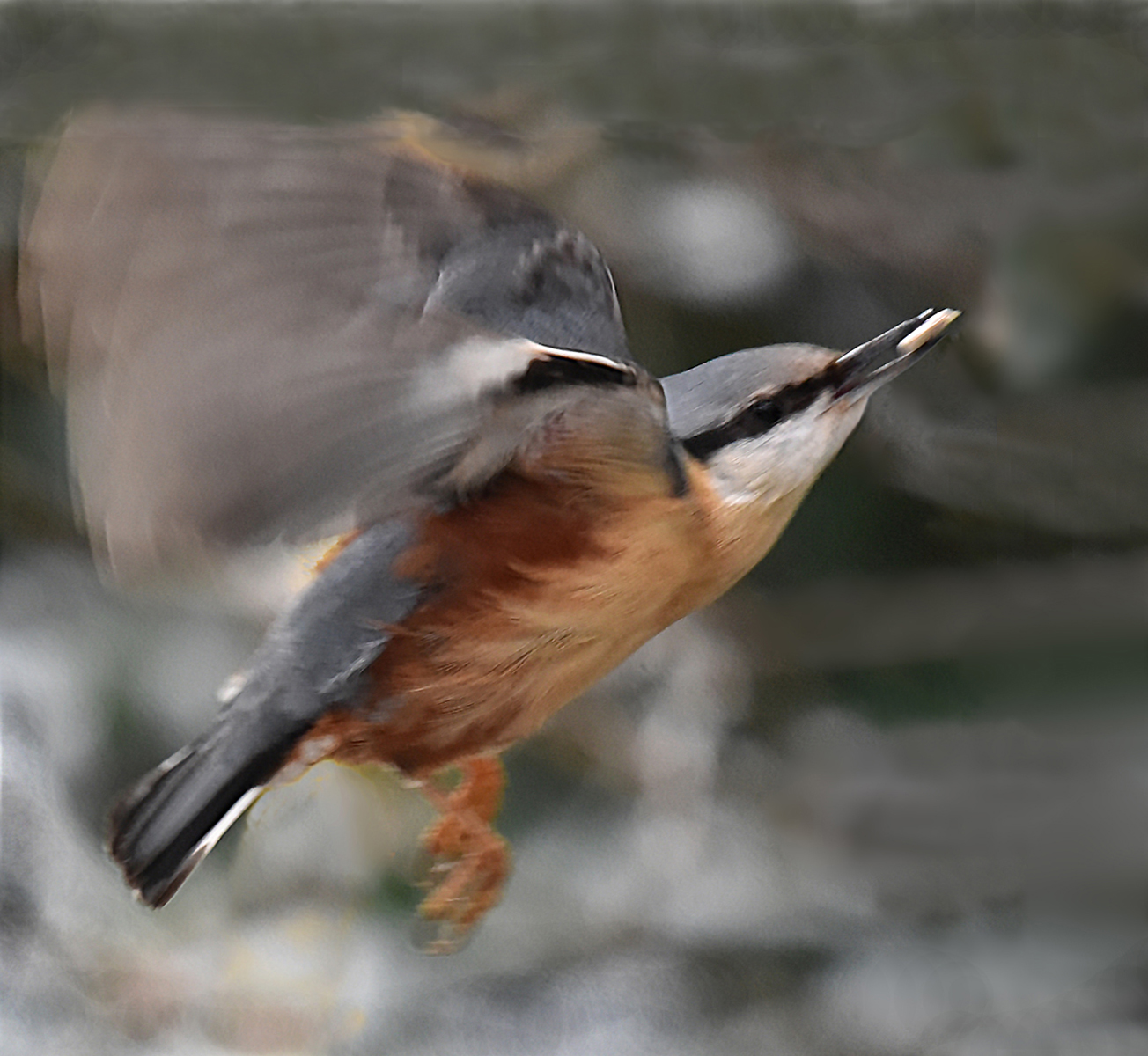 Brian McLean_Nuthatch in flight_None