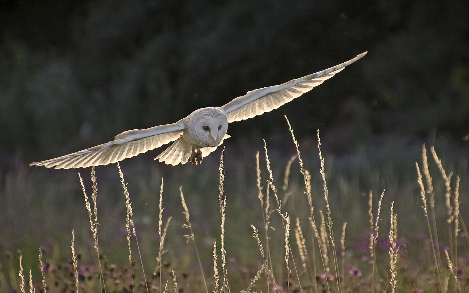 Pam Sherren_Barn Owl Landing