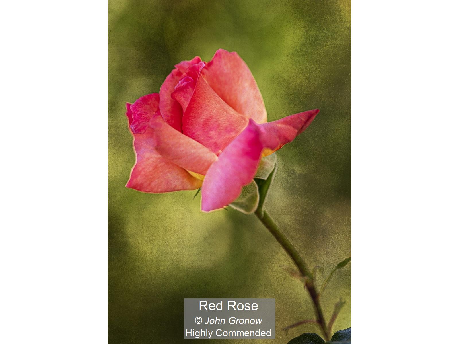 Red Rose_John Gronow_HComm