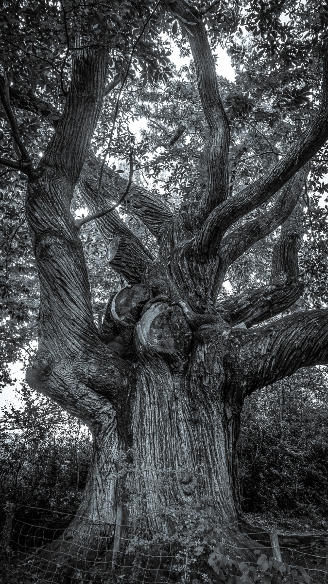 Peter Butler_A Mighty Chestnut Tree_None