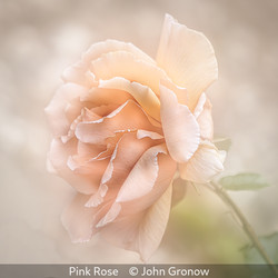 Highly Commended_John Gronow_Pink Rose