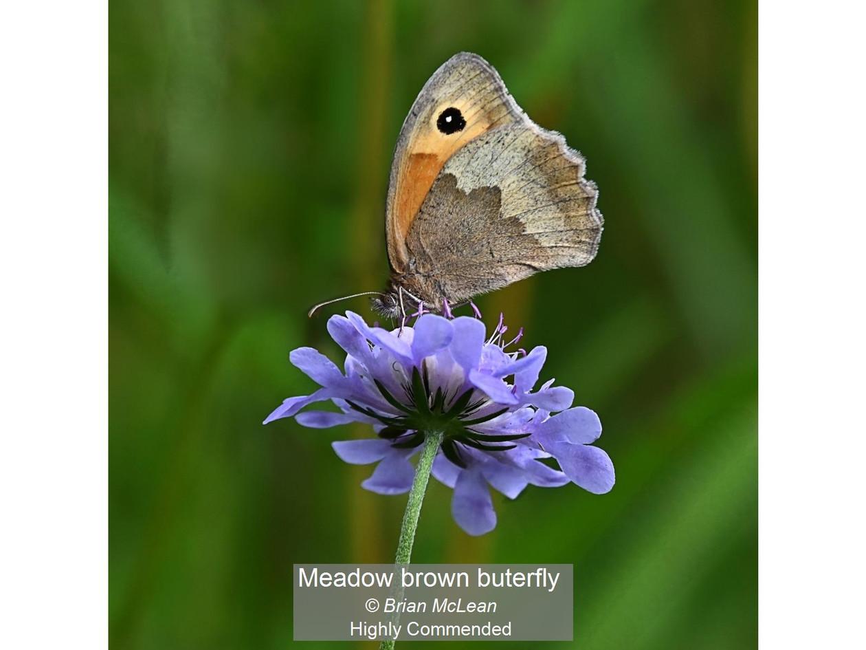 Meadow brown buterfly_Brian McLean_Certi
