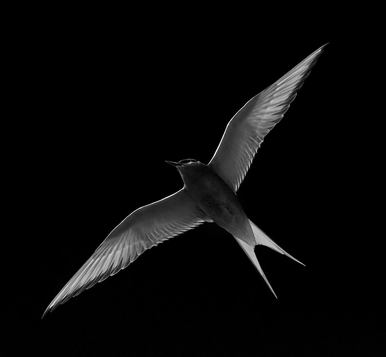 Julie McGowan_Star Tern_Bronze
