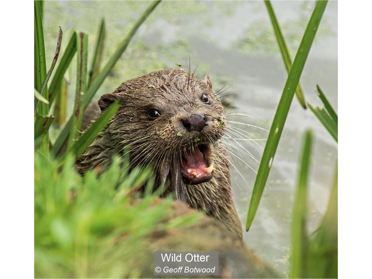 Wild Otter_Geoff Botwood.jpg