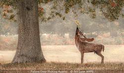 Jan Lunn_Fallow Deer Picking Acorns