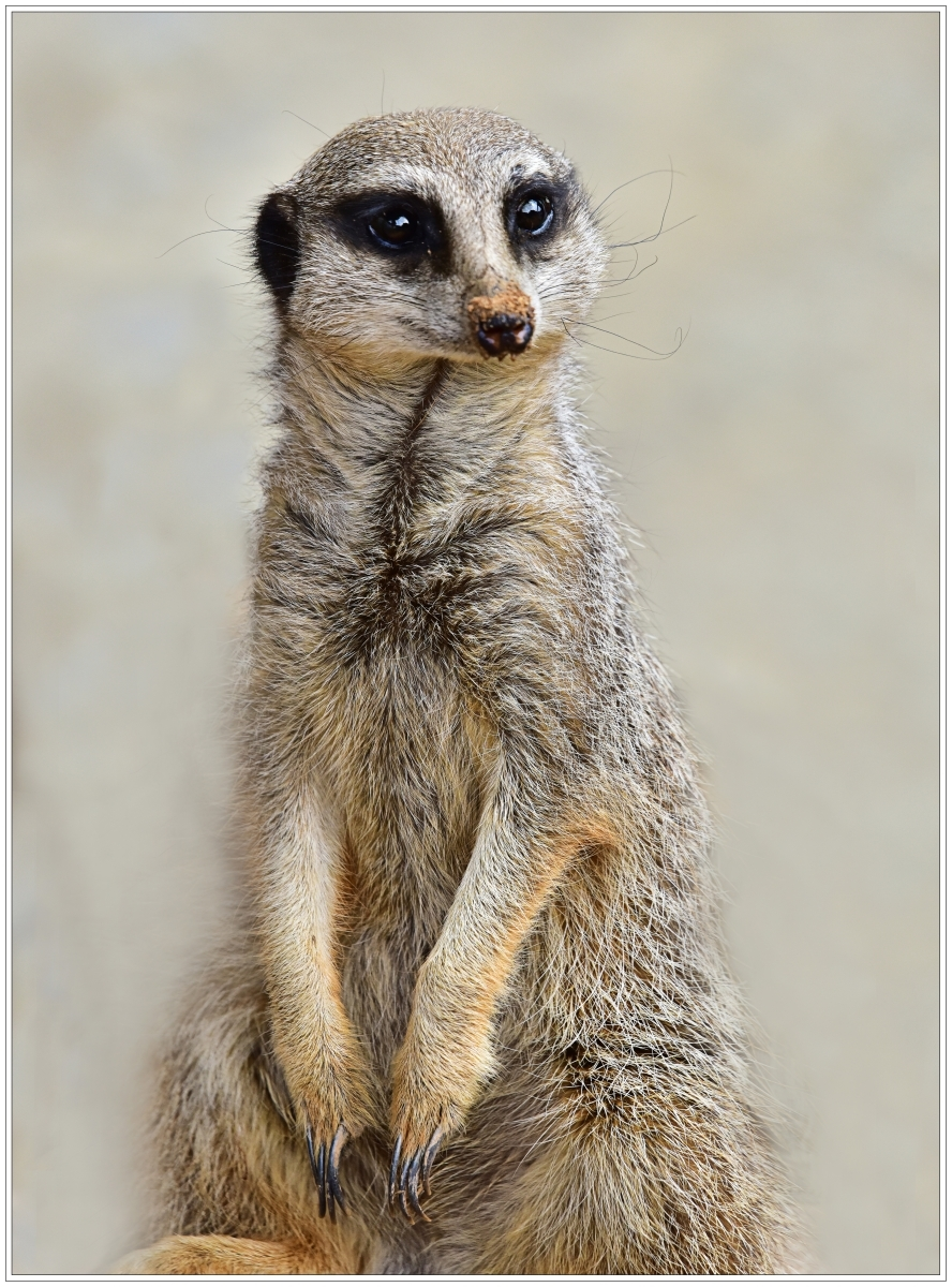 Peter Jeffery_Cheeky Meerkat_Cert