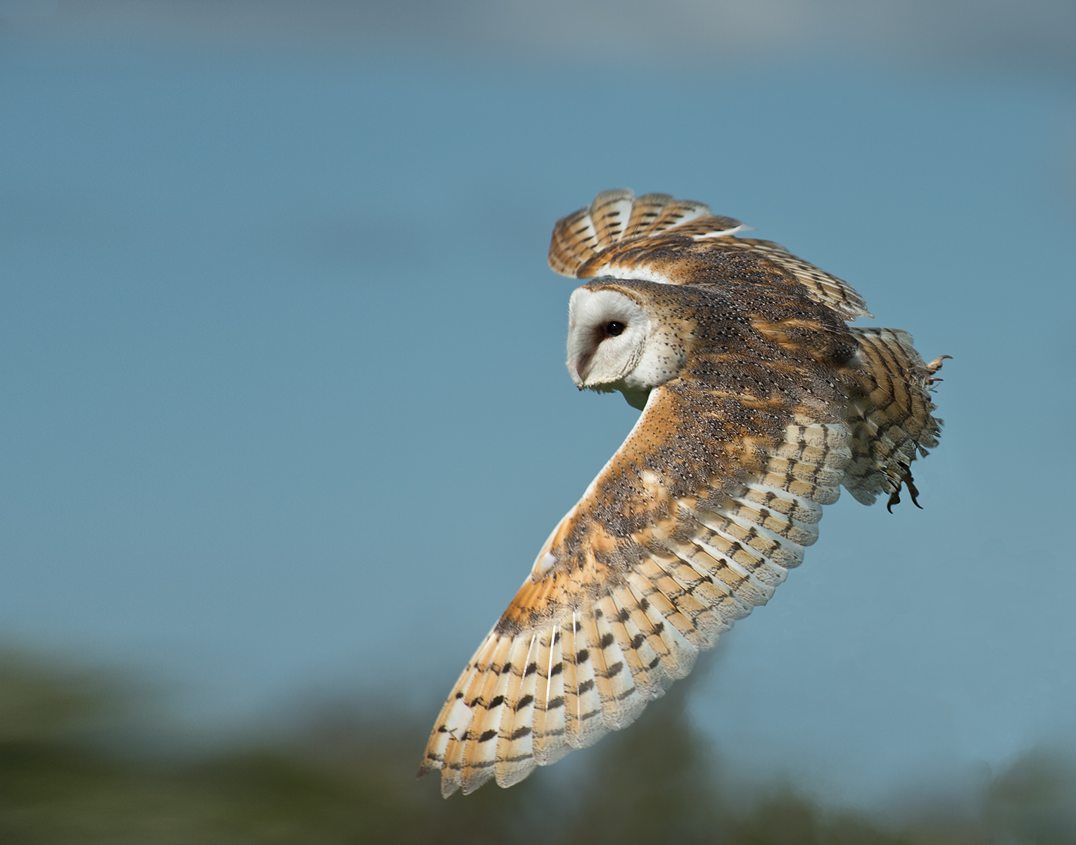 Geoff Botwood_Barn Owl in FLight