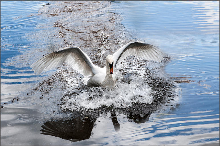 Clive Figes_The swan has landed