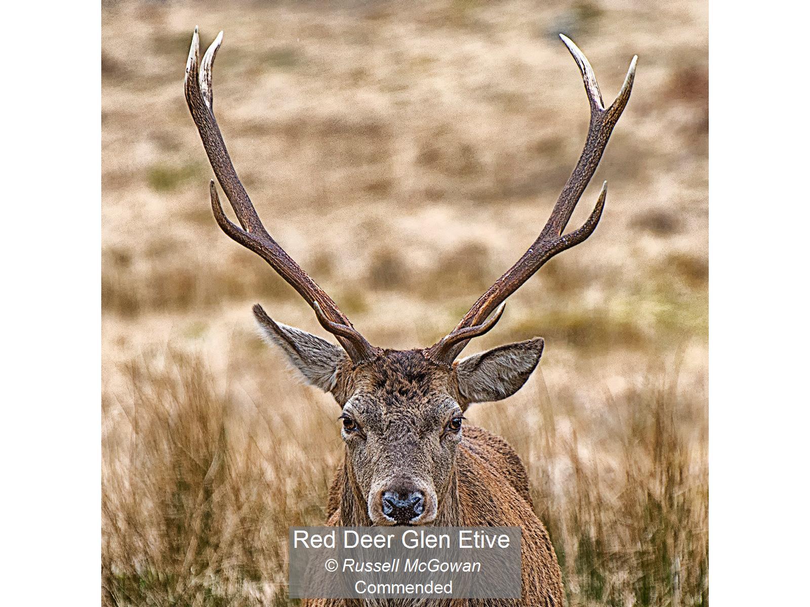 Red Deer Glen Etive_Russell McGowan_Comm