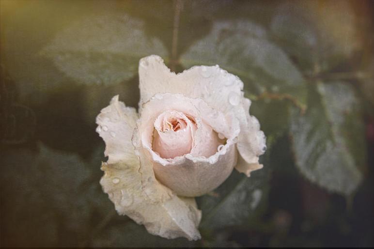 John Gronow_Rose in the Rain