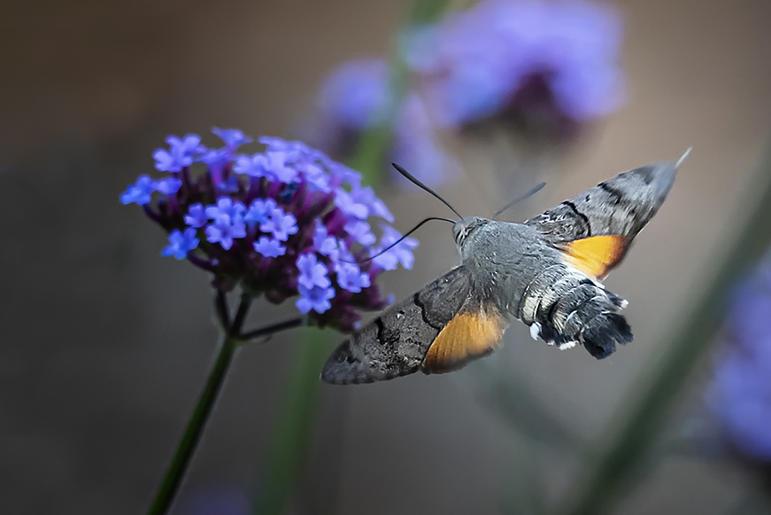John Gronow_Hummingbird Hawkmoth