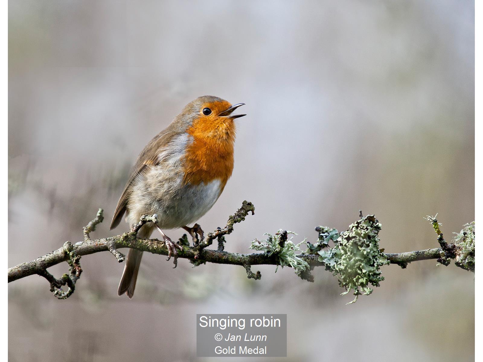 Singing robin_Jan Lunn_Gold