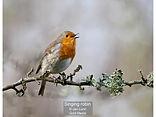 Singing robin_Jan Lunn_Gold.jpg
