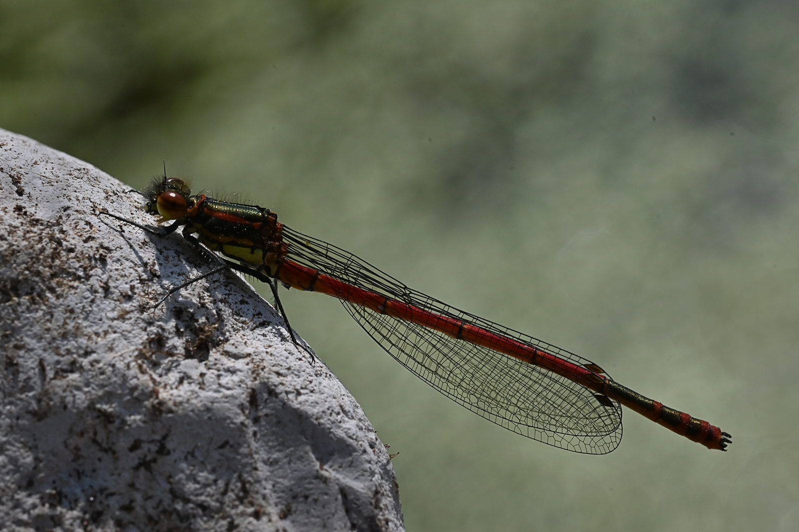 Large red damselfly_Brian McLean_Commend