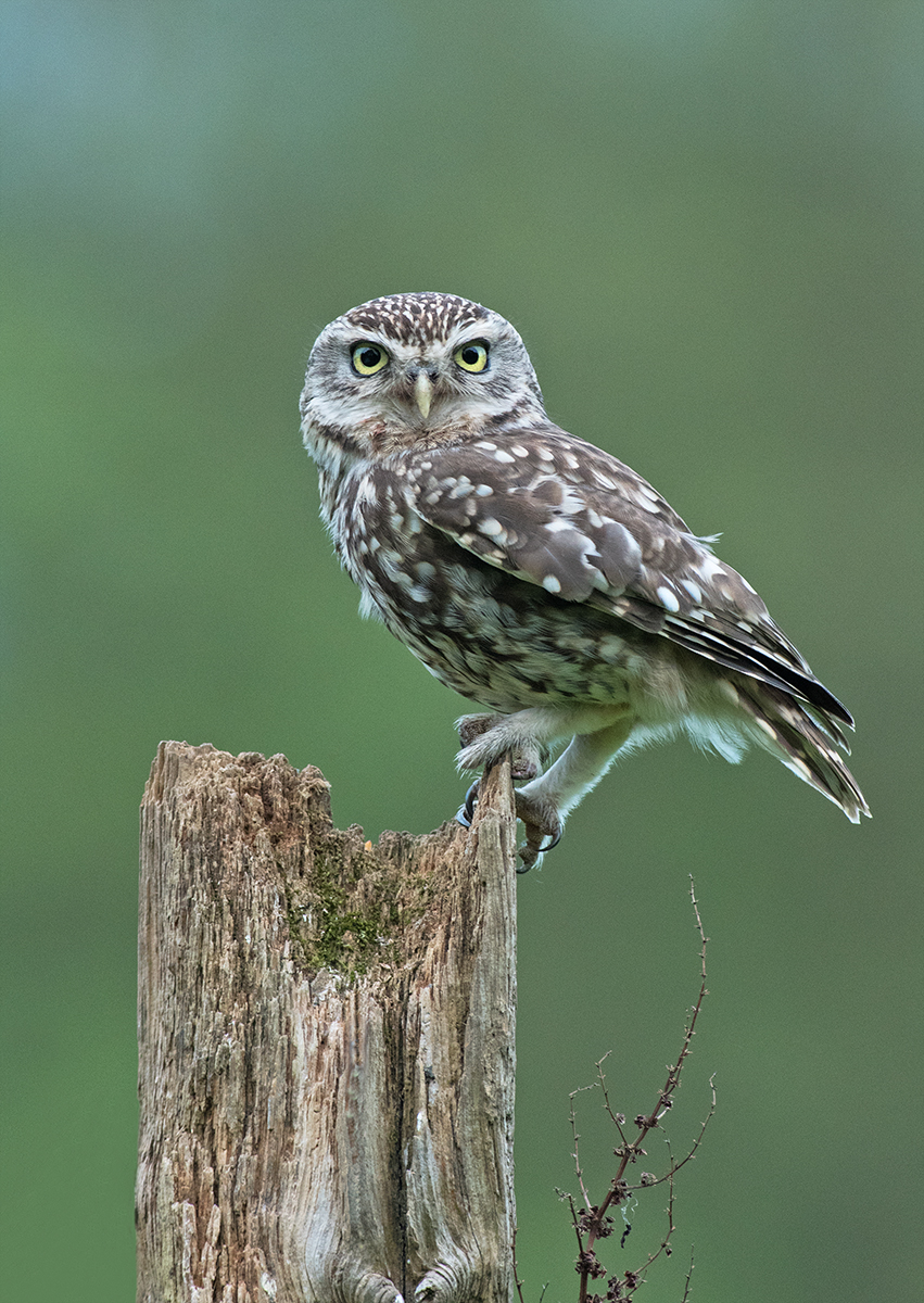Geoff Botwood_Little Owl_Gold