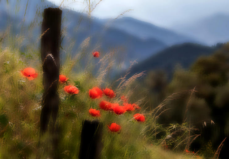 Mike Harris_Poppies in the Picos Mountains