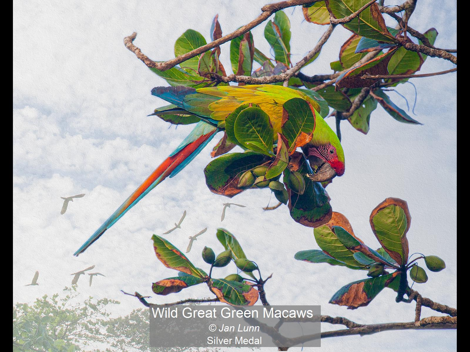Wild Great Green Macaws_Jan Lunn_Silver.