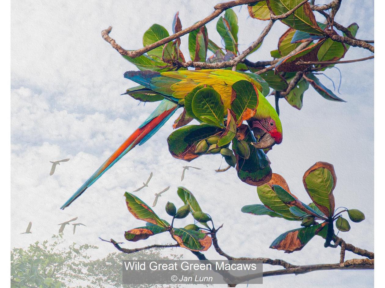 Wild Great Green Macaws_Jan Lunn.jpg