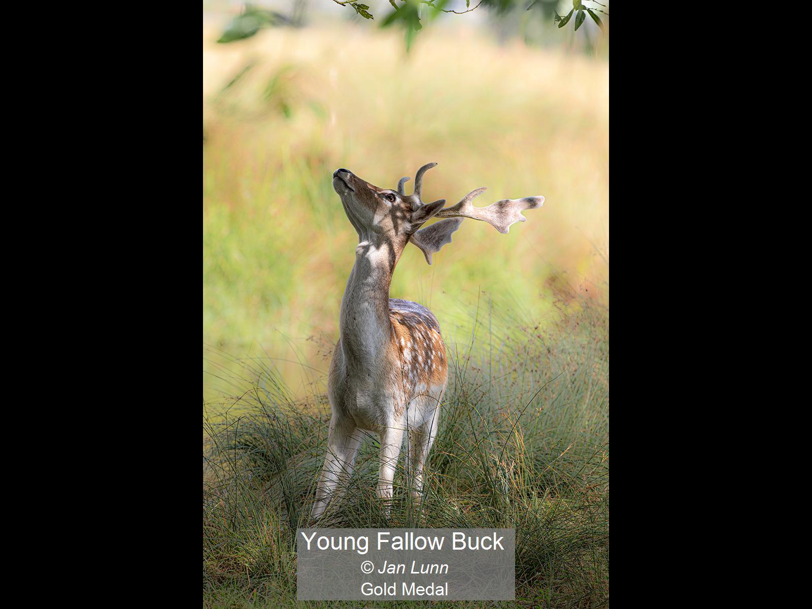 Young Fallow Buck_Jan Lunn_Gold