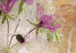 1 Frozen Flowers_Emily King