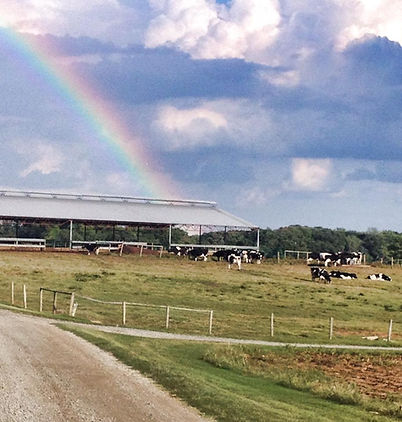 Rainbow over the cows