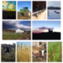 Alvis Farms cows wheat barns corn