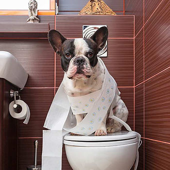 french-bulldog-frenchie-toilet-training-dog-wrapped-in-toilet-paper-700x700.jpg