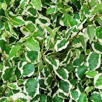 Bouture de Ficus pumila