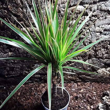 Dracaena marginata 'bicolor'