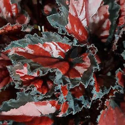 Begonia rex 'Inca Night'