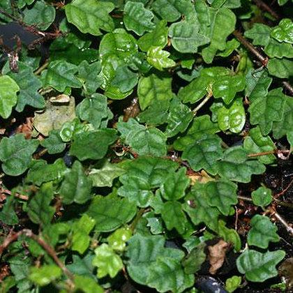 Ficus montana