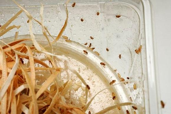 Drosophiles (Melanogaster, petits)