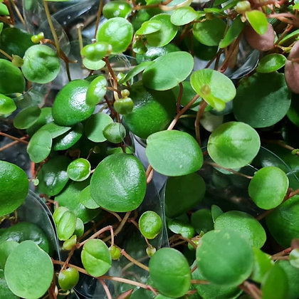 Peperomia pepperspot