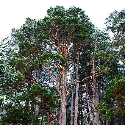 Pinus sylvestris (Pin sylvestre)