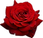 rose_PNG658.png