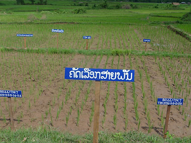 Laos Farmers' Varietal Selection in drou